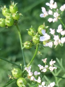 Green Coriander Seed on CIlat